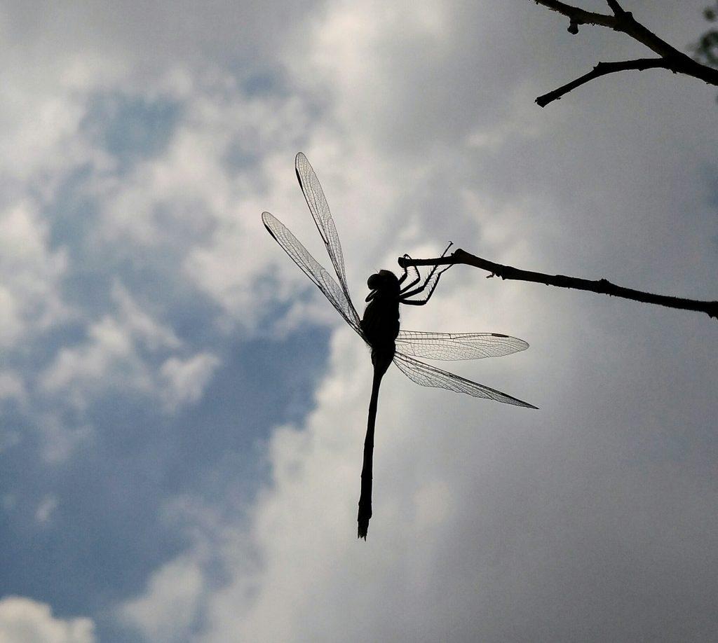 Ảnh đã crop cho cảm giác gần với chủ thể...chi tiết hoa văn trên cánh con chuồn chuồn vẫn khá rõ...